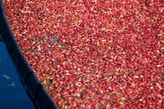 cranberry skördad red arkivfoton
