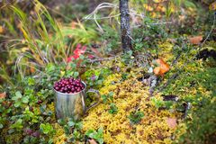 Cranberry in steel cup in autumn forest Stock Photos