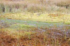 Cranberry Swamp in the autumn in Arkhangelsk region of Russia. Royalty Free Stock Photo