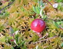 Cranberry in swamp Royalty Free Stock Photography