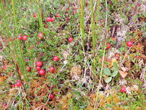 Cranberry in swamp Stock Image