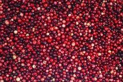 cranberry Tranbärbakgrund Tranbär i vatten Matbaksida arkivbilder