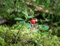Cranberry twig. Royalty Free Stock Photos