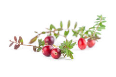 Cranberry twigs on white Stock Image