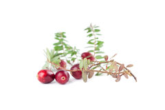 Cranberry twigs on white Royalty Free Stock Photography