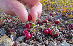 Cranberry Vaccinium vitis-idaea pick alpine tundra. Harvest of ripe red low-bush cranberries, lingonberry, or partridgeberry, Vaccinium vitis-idaea, with bare Royalty Free Stock Images