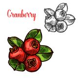 Cranberry vector sketch fruit berry icon. Cranberry berry color sketch icon. Vector botanical design of cranberries fruits bunch with leaf for juice or jam royalty free illustration