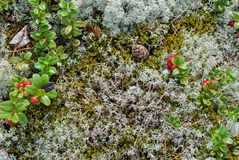 Cranberry w mech Zdjęcie Royalty Free