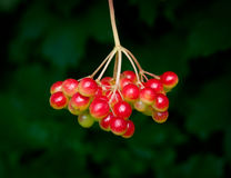 Cranberrybush berry Stock Photos