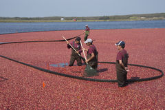 Cranberryharvester Arkivfoton