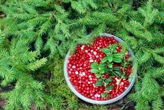 cranberrylivstid fortfarande Royaltyfri Foto