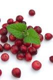 cranberrymint royaltyfria bilder