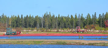 Cranberryt harvesting. Saint-Louis-de-Blandford Quebec Canada 10 06 16: Cranberry farm water management harvesting in Saint-Louis-de-Blandford located on the Stock Photo