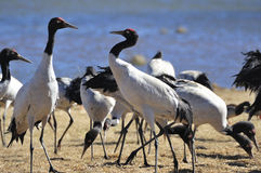 Crane. Yunnan from Tibet to fly the black-necked cranes wintering Royalty Free Stock Photos