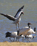 Crane. Yunnan from Tibet to fly the black-necked cranes wintering Stock Photography