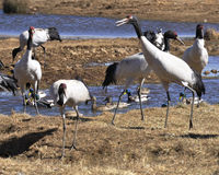 Crane. This tsurumure are feeding and resting Royalty Free Stock Photos