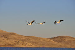 Crane. Flew over above the plateau wetlands of the crane family Royalty Free Stock Image