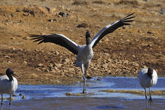 Crane. The black-necked cranes are being laid-back feeding Stock Images