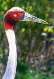 Crane. Asian Red Sarus Crane Head Looking Right With Green Background Stock Photography