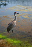 Crane. Red crowned crane in the water Stock Images