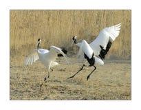 Crane(5) Stock Images
