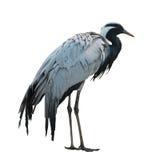 Crane. A wild animal: a crane royalty free stock images