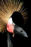 crane afrykańska crown obraz stock