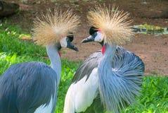 crane afrykańska crown Zdjęcie Stock