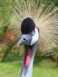 crane afrykańskiej Fotografia Stock