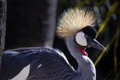 crane afrykańskiej Obrazy Stock