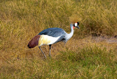 Crane, Amboseli Kenya. Crane bird, walking around in Amboseli National Park Stock Photography