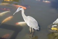 Crane And Koi Fish Royalty Free Stock Images