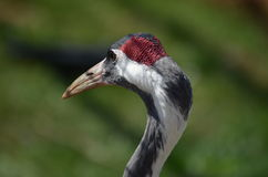 Crane of asia. Nice head of Crane of asia with nice color red, black and white. His nice beack and great eyes Stock Photo