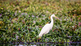 A crane in the backwaters of Kerala. A white bird among the leaves in a pond of the Kerala Backwaters Royalty Free Stock Photos