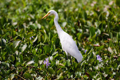 A egret in the backwaters of Kerala. A white egret among the leaves in a pond of the Kerala Backwaters Stock Image
