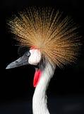 crane balearica afrykańska grey regulorum crown obrazy stock