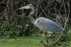 Crane bird. Side portrait of gray or grey crane bird wading through water, vegetation in background Royalty Free Stock Images