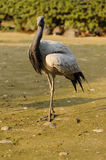 Crane bird Royalty Free Stock Photography