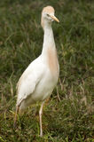 Crane Bird Stock Photo