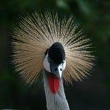 Crane bird. Crowned crane Stock Photography