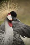 Crane Bird Immagini Stock Libere da Diritti