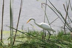 Crane Bird Stock Afbeelding