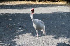 Crane Bird lizenzfreie stockfotografie