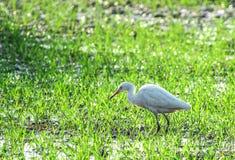 Crane Bird. Beautiful white crane bird in crops royalty free stock photos