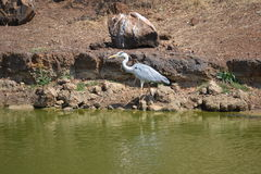 Crane Bird. The crane bird is a carnivore and eat small fish and frogs Royalty Free Stock Photo