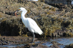 Crane bird catching a fish on California beach Royalty Free Stock Photos