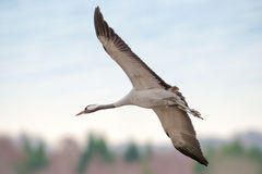 Crane bird closeup - Grus grus Royalty Free Stock Photos