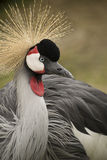 Crane bird Royalty Free Stock Images