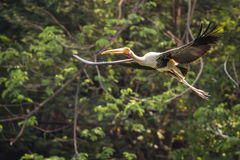 Flying Painted Stork bird. Painted Stork bird flying in a forest Stock Photos