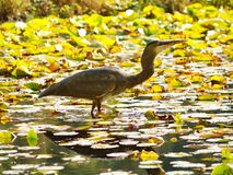 Crane bird in a lake Stock Photo